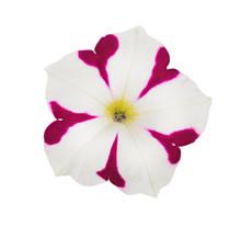 Bright Pink And White Petunia ...