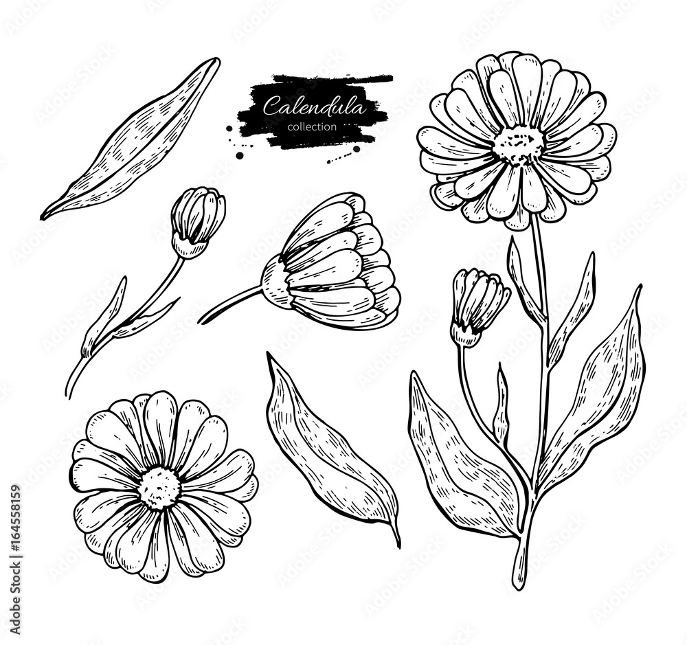 Fototapety, obrazy: Calendula vector drawing. Isolated medical flower and leaves. Herbal engraved style illustration.