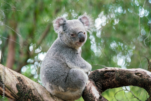 Koala relaxing in a tree in Perth