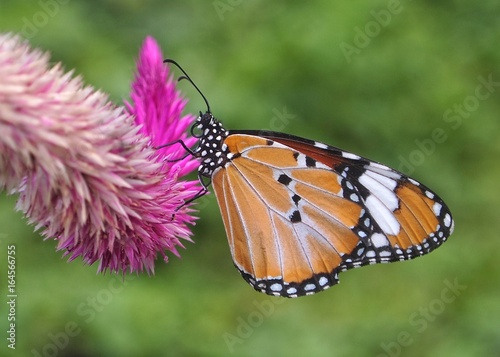 Monarch butterfly on Celozja flower tip