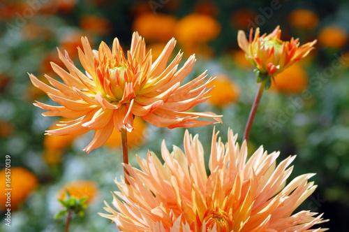 orange dahlia blossom in summer autumn time