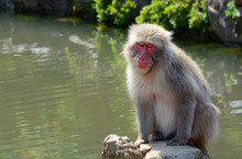 Japanese Macaque Monkey With A...