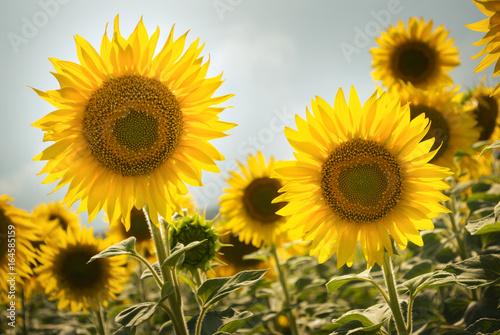 Garden Poster Floral Sunflower field