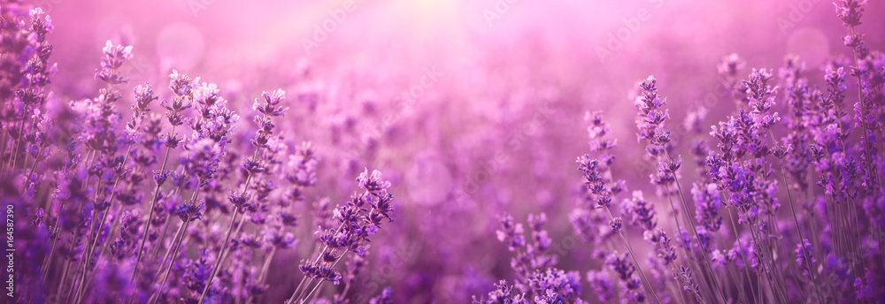 Fototapety, obrazy: violet lavender field