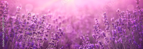 violet lavender field Wallpaper Mural