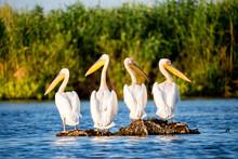 Pelican Colony In Danube Delta...