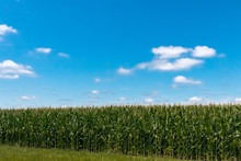 Corn Fields In The Countryside