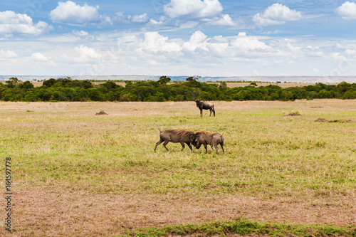 Photo  warthogs fighting in savannah at africa