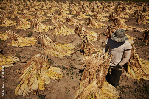 the evident violation of human rights in the tobacco harvesting industry (c) in november 2016, voters approved proposition 64, the adult use of marijuana act (auma) under proposition 64, adults 21 years of age or older may legally grow, possess, and use cannabis for nonmedicinal purposes, with certain restrictions.