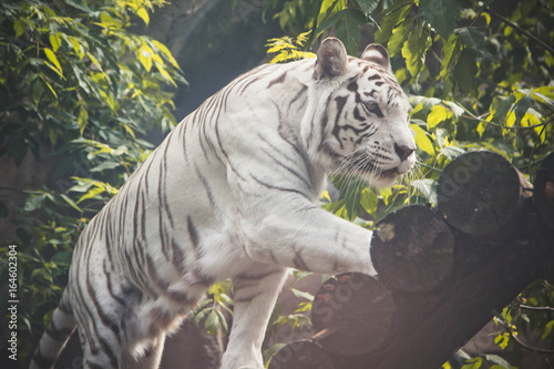 Animal: White Tiger walking Wallpaper Mural