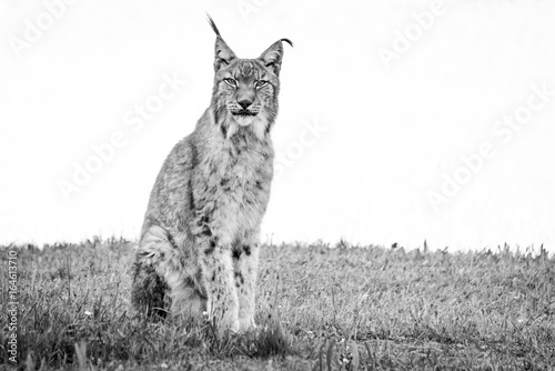 Keuken foto achterwand Lynx Mono lynx on grass looking at camera