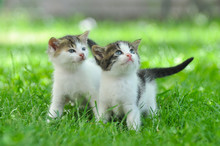 Two Curious Little Kittens Pla...