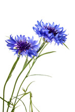 Cornflowers Isolated On A Whit...