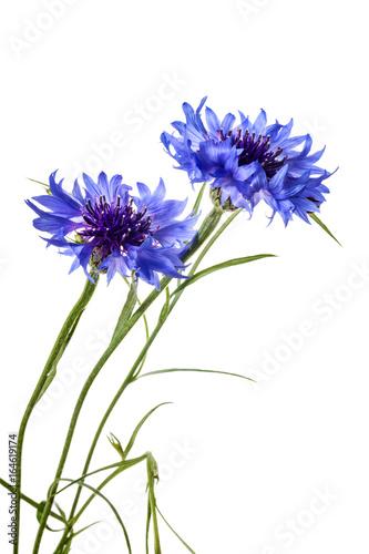 cornflowers-odizolowywajacy-na