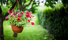 Pot Of Petunia Flowers Hanging On Tree