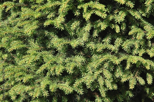 Wall Murals Forest Picea Abies Nidiformis close up
