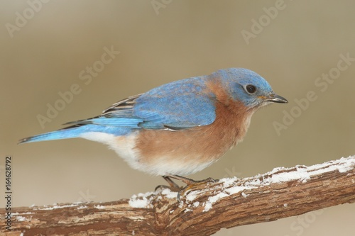 Aufkleber - Male Eastern Bluebird in Snow