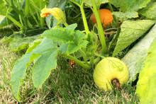 Pumpkins Growing On Vine In Ho...