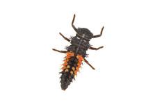 Ladybug Larva (Coccinella) On ...