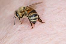 Eine Biene Honigbiene (Apis Me...