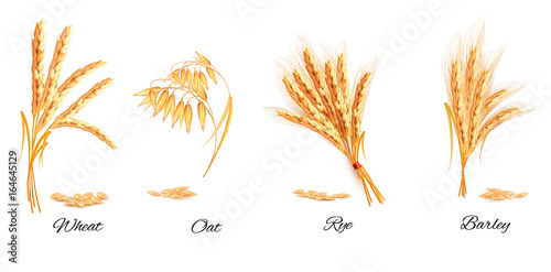Foto Ears of wheat, oat, rye and barley. Vector illustration.