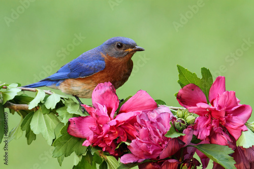 Aufkleber - Male Eastern Bluebird