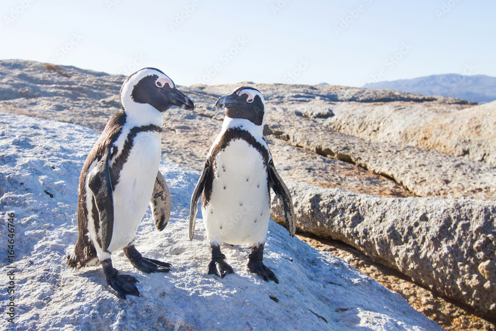 couple of penguins in love