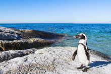 Beautiful African Penguin On B...