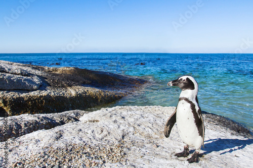 beautiful african penguin on Boulders beach in Cape Town, South Africa