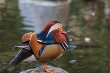 Mandarin Duck By Pond.