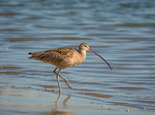 Long Billed Curlew Searches Th...