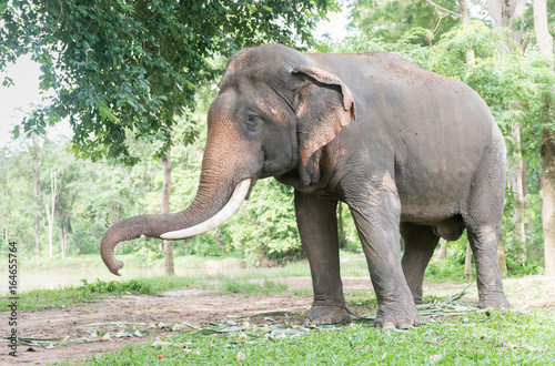 Photo Big Thai elephant in forest,reserve animal