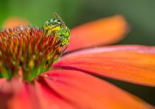Metallic Green Sweat Bee (Agap...