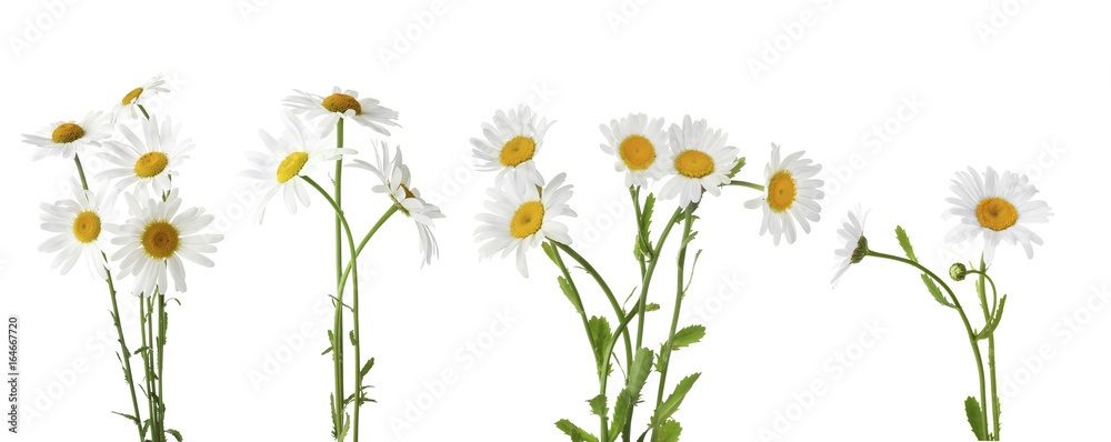 Fototapety, obrazy: Collage of beautiful chamomile flowers on white background