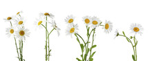 Collage Of Beautiful Chamomile...