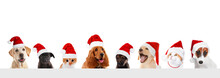 Funny Pets In Santa Hats On White Background