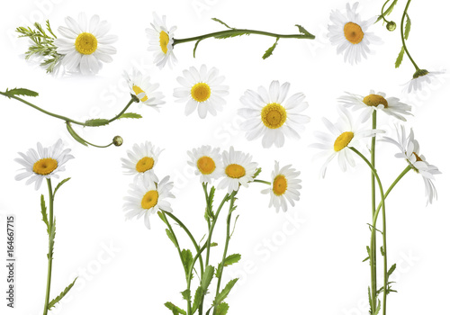 Collage of beautiful chamomile flowers on white background Fototapete