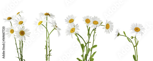 Marguerites Collage of beautiful chamomile flowers on white background