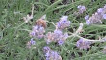 Ape Alla Ricerca Di Polline Tra La Lavanda Profumata