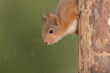 young red squirrel up side down