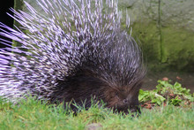 The Crested Porcupine (Hystrix...