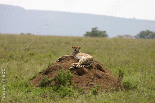 Fotobehang Leeuw Cheetah Botswana Africa savannah wild animal mammal