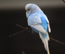 The Budgerigar (Melopsittacus ...