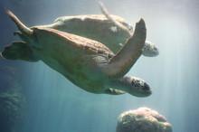 The Green Turtle (Chelonia Che...