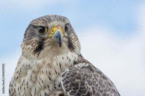 Photo  Close up photograph looking slightly up of the portrait of a saker hybrid falcon