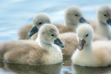 Beautiful Young Swans