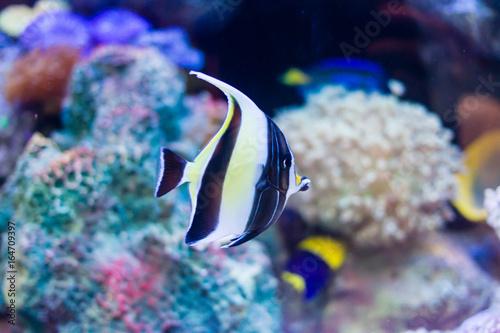 Moorish Idol Zanclus Cornutus Swims In Reef Tank Buy This