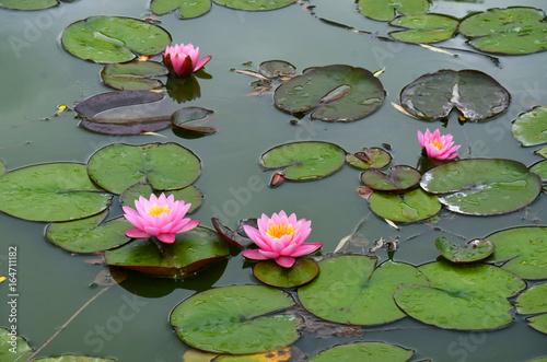 Tuinposter Waterlelies Seerosen