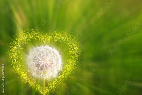 zblizenie-na-dmuchawiec-w-sercowej-oprawce-na-zielonym-tle-rozmazanej-trawy