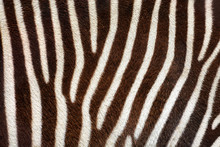 Real Zebra Stripes Background Texture From A Living Animal